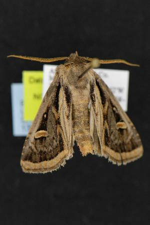 ( - CNCNoctuoidea13225)  @14 [ ] CreativeCommons - Attribution Non-Commercial Share-Alike (2010) CBG Photography Group Centre for Biodiversity Genomics