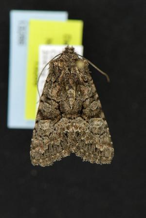 (Pseudanarta flavidens - CNCNoctuoidea13266)  @13 [ ] CreativeCommons - Attribution Non-Commercial Share-Alike (2010) CBG Photography Group Centre for Biodiversity Genomics