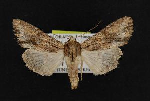 (Apamea atrosuffusa - CNCNoctuoidea11134)  @15 [ ] CreativeCommons - Attribution Non-Commercial Share-Alike (2010) CBG Photography Group Centre for Biodiversity Genomics