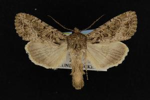 ( - CNCNoctuoidea11153)  @14 [ ] CreativeCommons - Attribution Non-Commercial Share-Alike (2010) CBG Photography Group Centre for Biodiversity Genomics