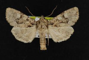 ( - CNCNoctuoidea11157)  @14 [ ] CreativeCommons - Attribution Non-Commercial Share-Alike (2010) CBG Photography Group Centre for Biodiversity Genomics