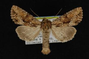 (Apamea auranticolor - CNCNoctuoidea11162)  @15 [ ] CreativeCommons - Attribution Non-Commercial Share-Alike (2010) CBG Photography Group Centre for Biodiversity Genomics