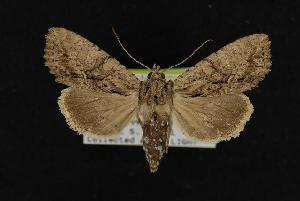 (Apamea cariosa - CNCNoctuoidea11169)  @15 [ ] CreativeCommons - Attribution Non-Commercial Share-Alike (2010) CBG Photography Group Centre for Biodiversity Genomics