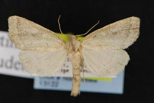 ( - CNCNoctuoidea13122)  @12 [ ] CreativeCommons - Attribution Non-Commercial Share-Alike (2010) CBG Photography Group Centre for Biodiversity Genomics
