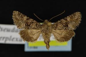 (Pseudanarta perplexa - CNCNoctuoidea13164)  @14 [ ] CreativeCommons - Attribution Non-Commercial Share-Alike (2010) CBG Photography Group Centre for Biodiversity Genomics