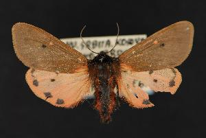 (Phragmatobia placida - CNCNoctuoidea13638)  @13 [ ] Unspecified (default): All Rights Reserved  Unspecified Unspecified
