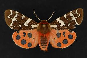 (Arctia opulenta - CNCNoctuoidea13687)  @14 [ ] Unspecified (default): All Rights Reserved  Unspecified Unspecified