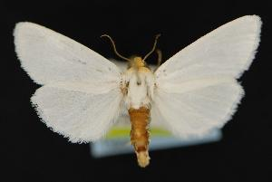 (Schinia bimatris - CNCNoctuoidea13805)  @13 [ ] Unspecified (default): All Rights Reserved  Unspecified Unspecified