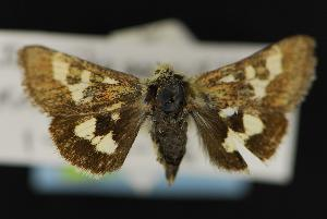 (Schinia persimilis - CNCNoctuoidea13854)  @14 [ ] Unspecified (default): All Rights Reserved  Unspecified Unspecified