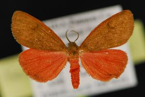 (Virbia fergusoni - CNCNoctuoidea13950)  @14 [ ] Unspecified (default): All Rights Reserved  Unspecified Unspecified