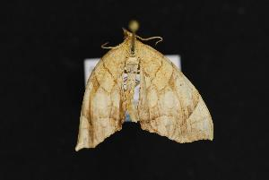 (Eulithis sp - LEP041290)  @13 [ ] Unspecified (default): All Rights Reserved  Unspecified Unspecified