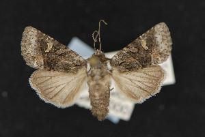 (Lacinipolia sharonae - CNC LEP 00047492)  @13 [ ] Unspecified (default): All Rights Reserved  Unspecified Unspecified