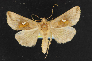 (Autographa metallica - NOC14464)  @13 [ ] Unspecified (default): All Rights Reserved  Unspecified Unspecified