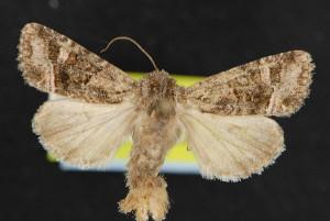 (Lacinipolia rectilinea - NOC14670)  @14 [ ] Unspecified (default): All Rights Reserved  Unspecified Unspecified