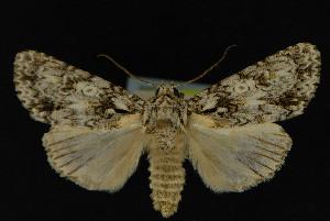 (Acronicta marmorata - NOC14208)  @14 [ ] Unspecified (default): All Rights Reserved  Unspecified Unspecified