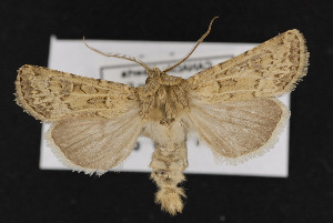 (Agrotis orthogonia - CNC LEP00052225)  @14 [ ] Unspecified (default): All Rights Reserved  Unspecified Unspecified