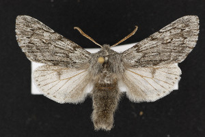 (Brachionycha borealis - CNC LEP00052354)  @15 [ ] Unspecified (default): All Rights Reserved  Unspecified Unspecified