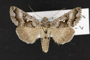 (Autographa v-alba - CNC LEP00052440)  @13 [ ] Unspecified (default): All Rights Reserved  Unspecified Unspecified