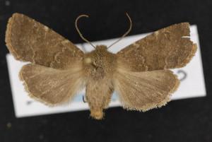 (Homoglaea californica - CNC LEP00053014)  @15 [ ] Unspecified (default): All Rights Reserved  Unspecified Unspecified