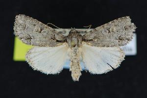 (Acronicta albarufa - NOC15068)  @14 [ ] Unspecified (default): All Rights Reserved  Unspecified Unspecified