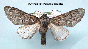 (Panthea gigantea - GGAPan 184)  @14 [ ] Unspecified (default): All Rights Reserved  Unspecified Unspecified
