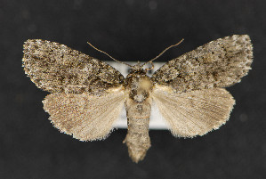 (Acronicta n sp - CNCLEP 73851)  @14 [ ] CreativeCommons - Attribution Non-Commercial Share-Alike (2016) Unspecified Unspecified