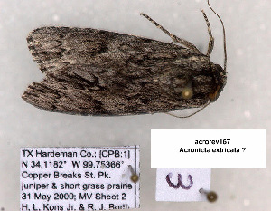 (Acronicta extricata - acrorev167)  @12 [ ] Unspecified (default): All Rights Reserved (2012) Don Lafontaine Unspecified