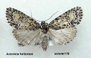 (Acronicta heitzmani - acrorev170)  @14 [ ] Unspecified (default): All Rights Reserved (2012) Don Lafontaine Unspecified
