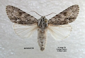 (Acronicta longa - acrorev174)  @15 [ ] Unspecified (default): All Rights Reserved (2012) Don Lafontaine Unspecified