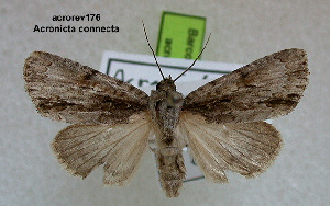 (Acronicta rapidan - acrorev176)  @13 [ ] Unspecified (default): All Rights Reserved (2012) Don Lafontaine Unspecified