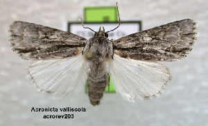 (Acronicta valliscola - acrorev203)  @14 [ ] Unspecified (default): All Rights Reserved (2012) Don Lafontaine Unspecified
