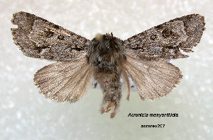 ( - Acronicta menyanthides acrorev207)  @12 [ ] CreativeCommons - Attribution Non-Commercial Share-Alike (2013) BIO Photography Group/CNC Centre for Biodiversity Genomics