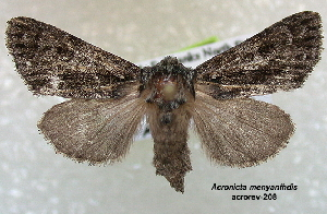 ( - Acronicta menyanthides acrorev208)  @14 [ ] CreativeCommons - Attribution Non-Commercial Share-Alike (2013) BIO Photography Group/CNC Centre for Biodiversity Genomics