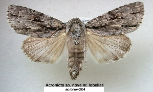 (Acronicta sp - acrorev204)  @15 [ ] CreativeCommons - Attribution Non-Commercial Share-Alike (2013) BIO Photography Group/CNC Centre for Biodiversity Genomics