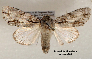 (Acronicta theodora - acrorev205)  @13 [ ] CreativeCommons - Attribution Non-Commercial Share-Alike (2013) BIO Photography Group/CNC Centre for Biodiversity Genomics