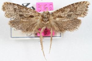 (Acrolophus calderwoodi - DDAV-D679)  @13 [ ] CreativeCommons - Attribution Non-Commercial Share-Alike (2010) CBG Photography Group Centre for Biodiversity Genomics