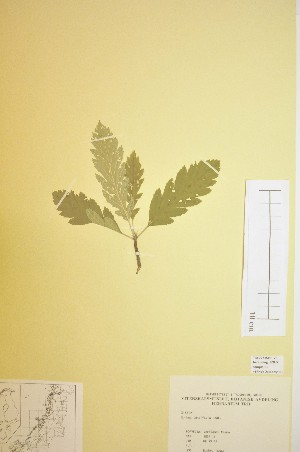 (Sorbus lancifolia - TRHV 313819)  @11 [ ] CreativeCommons - Attribution Non-Commercial Share-Alike (2012) NTNU Museum of Natural History and Archaeology NTNU Museum of Natural History and Archaeology
