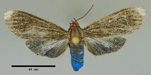 (Episcepsis nr. lenaeus - MUSM-ArctVBC153)  @14 [ ] Copyright (2017) Juan Grados Museo de Historia Natural, UNMSM, Lima, Perú