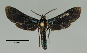 (Calonotos sp - MUSM-ArctVBC181)  @13 [ ] Copyright (2017) Juan Grados Museo de Historia Natural, UNMSM, Lima, Perú