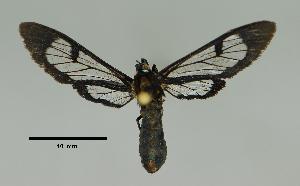 (Leucotmemis albigutta - MUSM-ArctVBC182)  @13 [ ] Copyright (2017) Juan Grados Museo de Historia Natural, UNMSM, Lima, Perú