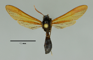 (Myrmecopsis sp - MUSM-ArctVBC185)  @12 [ ] Copyright (2017) Juan Grados Museo de Historia Natural, UNMSM, Lima, Perú