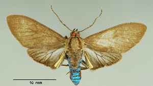 (Episcepsis nr. dodaba - MUSM-ArctVBC188)  @11 [ ] Copyright (2017) Juan Grados Museo de Historia Natural, UNMSM, Lima, Perú