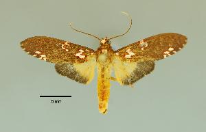 (Coiffaitarctia - MUSM-ArctVBC224)  @14 [ ] Copyright (2017) Juan Grados Museo de Historia Natural, UNMSM, Lima, Perú