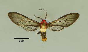 (Pseudomya nr. phoenicosticta - MUSM-ArctVBC227)  @11 [ ] Copyright (2017) Juan Grados Museo de Historia Natural, UNMSM, Lima, Perú