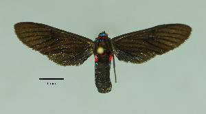 (Pseudomya cassandra - MUSM-ArctVBC231)  @11 [ ] Copyright (2017) Juan Grados Museo de Historia Natural, UNMSM, Lima, Perú