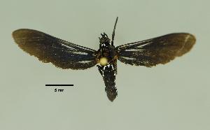 (Pseudomya vindonissa - MUSM-ArctVBC232)  @11 [ ] Copyright (2017) Juan Grados Museo de Historia Natural, UNMSM, Lima, Perú
