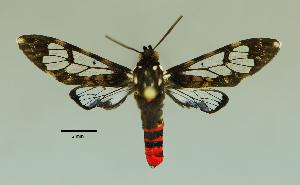 (Pseudohyaleucerea - MUSM-ArctVBC233)  @11 [ ] Copyright (2017) Juan Grados Museo de Historia Natural, UNMSM, Lima, Perú