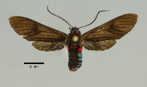 (Pseudomya nr. cassandra - MUSM-ArctVBC362)  @11 [ ] Copyright (2018) Juan Grados Museo de Historia Natural, UNMSM, Lima, Perú