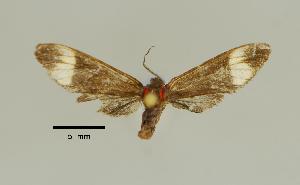 (Pseudomya nr. lacteipars - MUSM-ArctVBC366)  @11 [ ] Copyright (2018) Juan Grados Museo de Historia Natural, UNMSM, Lima, Perú