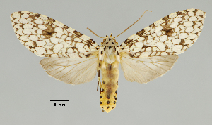 (Carales nr. astur - MUSM-ArctVBC370)  @11 [ ] Copyright (2018) Juan Grados Museo de Historia Natural, UNMSM, Lima, Perú